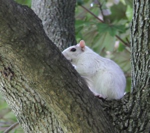 WhiteSquirrel-2